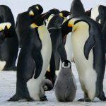 penguins-emperor-antarctic-life-52509