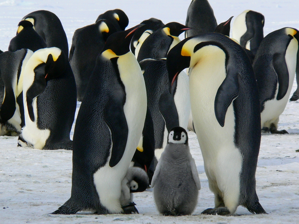 penguins-emperor-antarctic-life-52509